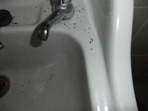 tiny ants in bathroom sink little black ants in kitchen sink