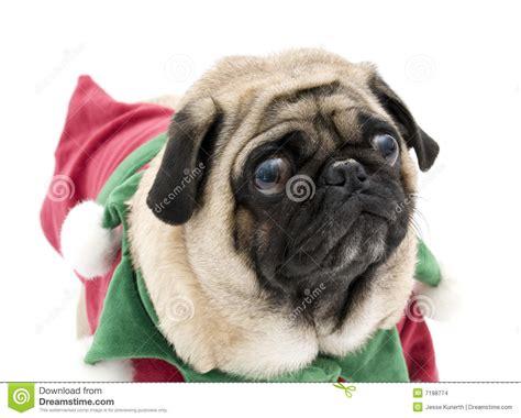 pug vans leuke pug het stock foto afbeelding bestaande uit kerstmis 7198774