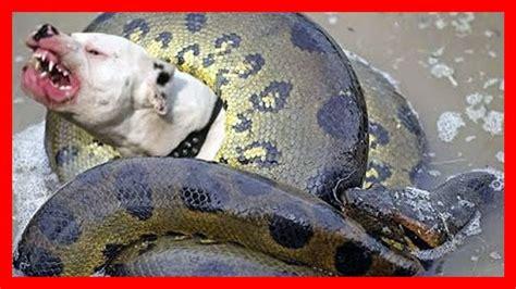serpiente gigante  perro las serpientes mas grandes del mundo anaconda gigante hd