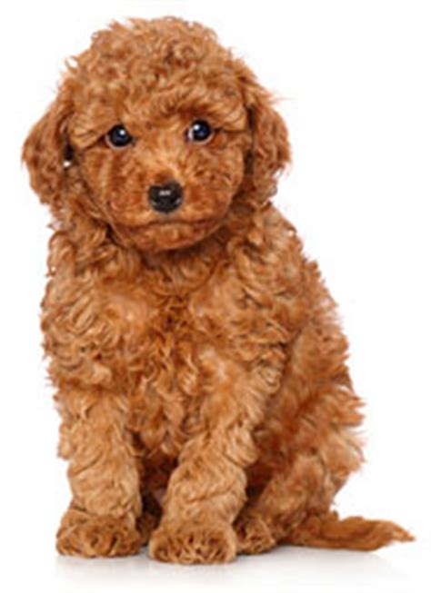 Types Of Dogs With Curly Hair by Small White Breeds Car Interior Design