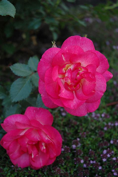 planet color mokena sunset rosa sunset in mokena