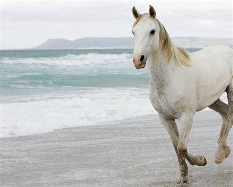 Wallpaper Horse Free Download | white horses hd wallpapers horses for desktop hd