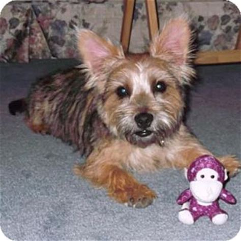 cairn yorkie buddy adopted adopted puppy troy oh cairn terrier yorkie terrier mix