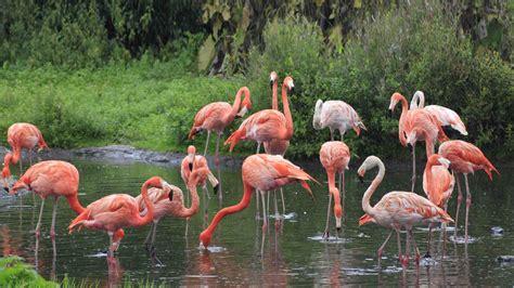 flamingo bay wallpaper group of beautiful pink flamingo wallpaper hd