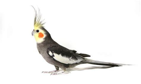 pappagallo calopsite alimentazione la calopsitte