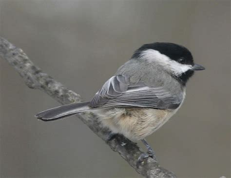 ohio bird photo collection carolina chickadee
