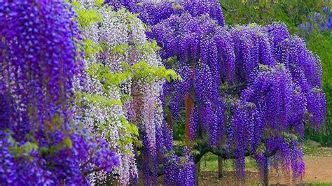 wisteria wallpaper wisteria color wallpaper