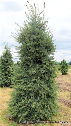 China Garden Orono by Swiss Algonquin Pillar Pine Pinus Cembra Algonquin