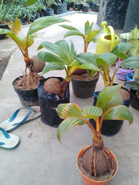 jual bonsai kelapa  lapak tani makmur jinggacandrakirana