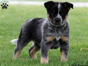Blue heeler mix puppy must love cats amp dogs pinterest