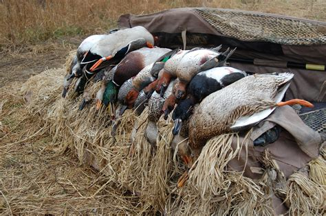 how to your to duck hunt arkansas duck guide service duck in arkansas