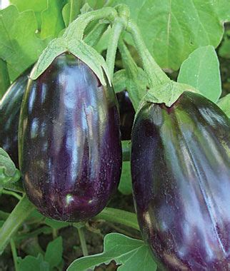 black beauty organic eggplant seeds  plants vegetable