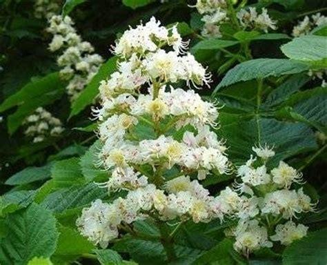 fiori castagno miele castagno miele biologico propriet 224 miele castagno