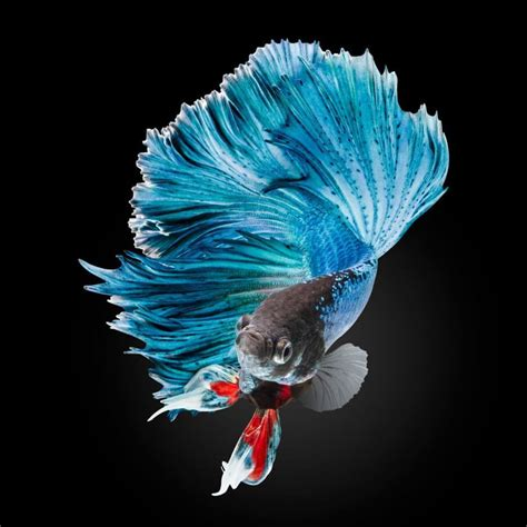 wallpaper iphone ikan the most beautiful betta fish in the world is so good