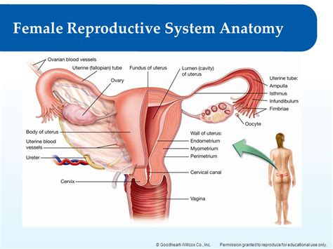 Anatomy Of Reproductive System Images