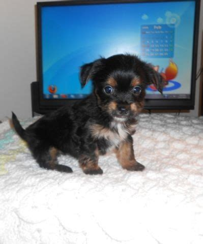 yorkie puppies 8 weeks ckc reg yorkie chi puppy 8 weeks for sale in kentucky classified