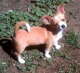 puppies for adoption colorado springs view ad chug for adoption colorado colorado springs usa
