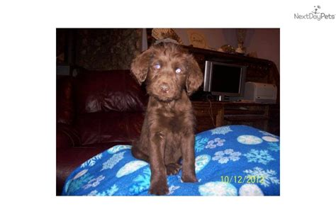 chocolate labradoodle puppies for sale near me labradoodle puppy for sale near pueblo colorado ecb62660 dc11