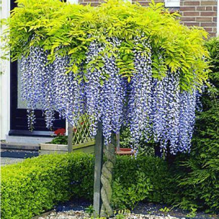 Garten Pflanzen Richtig Schneiden by Blauregen Richtig Schneiden Garten Pflanze
