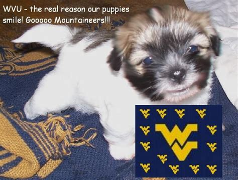 puppies for adoption in wv wvu havanese tzu puppies for sale adoption from morgantown west virginia adpost