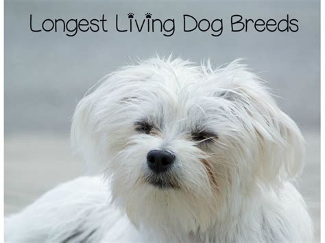 living breed top living breeds 13 dogs with spans dogvills