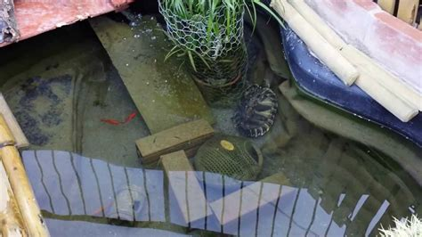 vasca per tartarughe grandi tartarughe pesci e gambusie nel laghetto mp4