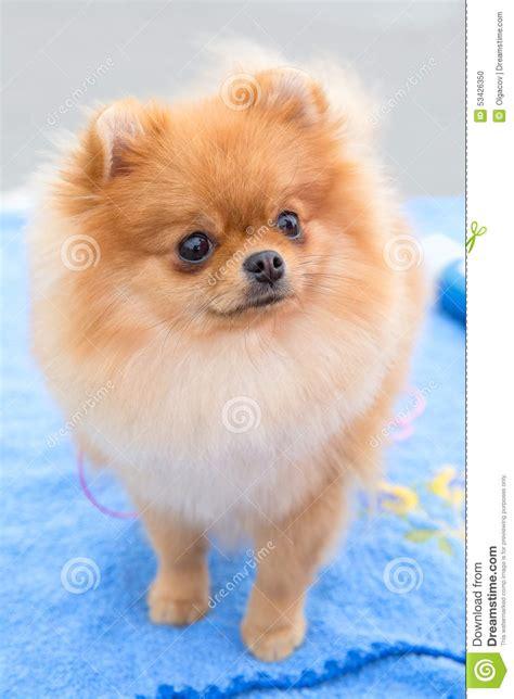 chien pomeranian race de pomeranian d allemand de de chien photo stock image du laisse