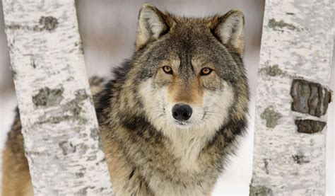 arri鑽e plan bureau hd fond d 233 cran hd gratuit de loup fond d 201 cran