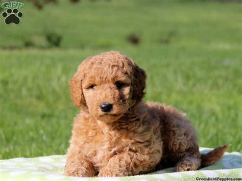 mini doodle puppies for sale in pa miniature labradoodle puppies for sale in pa keystone