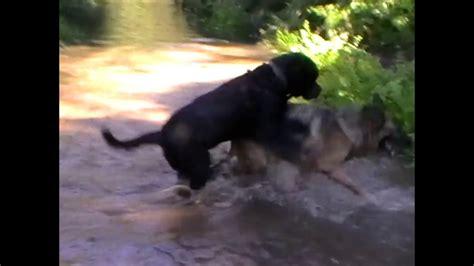 rottweiler aleman pastor alem 225 n rottweiler amigos caninos