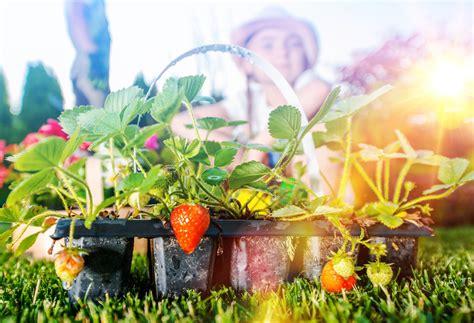 des fraises dans votre jardin ou sur votre terrasse conseils et astuces