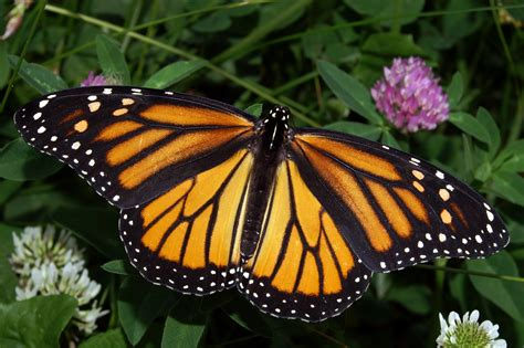 The Monarch Butterfly monsanto has killed 90 of monarch butterflies