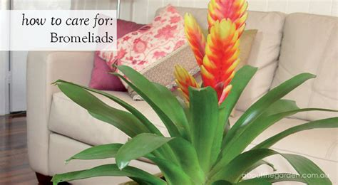 how to care for tropical house plants how to care for bromeliads about the garden about the