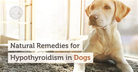 hypothyroidism in dogs food allergies breeds picture