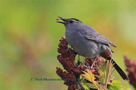 catbird eating sumach shilohs wildlife photography