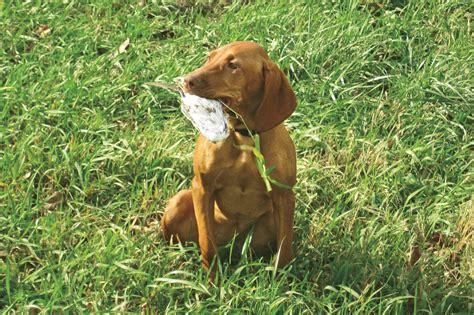 gun dogs vizsla lab dogs puppies breeds picture