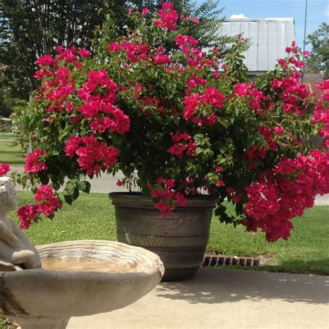 potted bougainvillea own outdoor pots