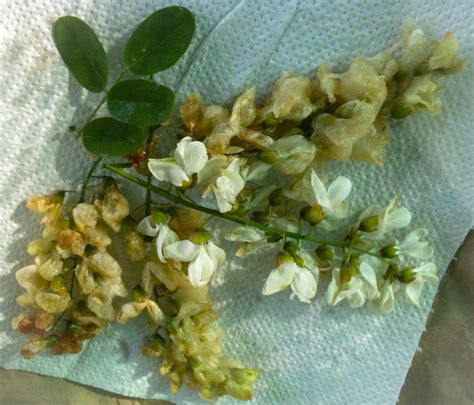 fiori di acacia in pastella ricette con i fiori fiori di acacia in pastella o