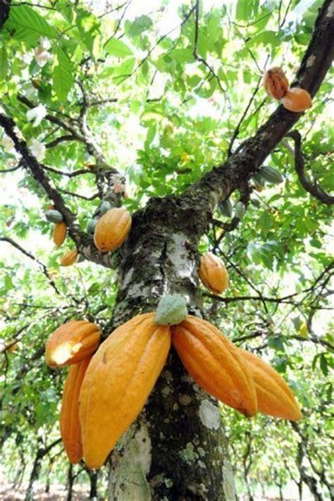 cocoa tree fruit cocoa fruit tree fruits on trees
