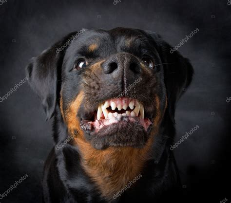 bred rottweilers of breed rottweiler stock photo 169 fotomt 9093698
