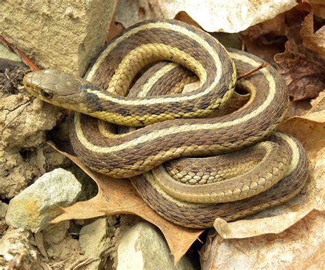 Garden Snake With Yellow Stripe File Thamnophis Sirtalis Sirtalis Wooster Jpg Wikimedia