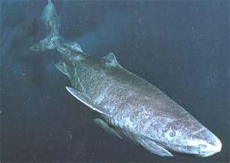 pacific sleeper shark puget sound wiki