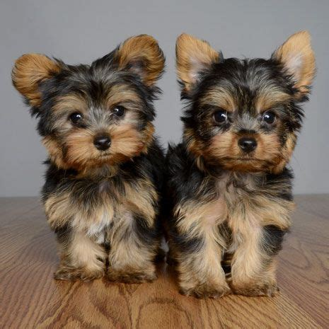orlando yorkie puppies 25 best ideas about terriers on terrier puppies