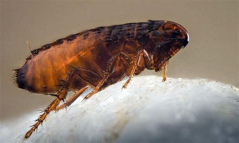 bites of fleas on a symptoms treatment photo