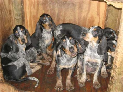 bluetick coonhound puppies for sale in black and bluetick coonhound dogs newhairstylesformen2014