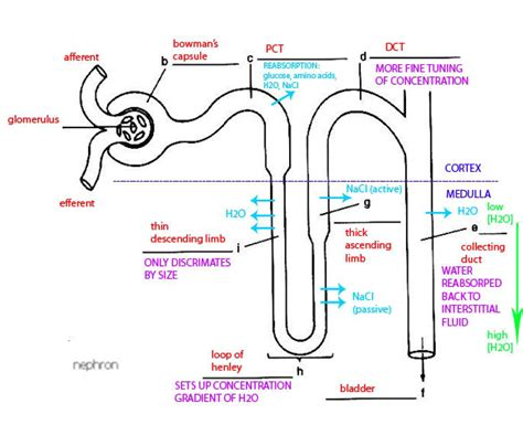 diagram of the nephron simple nephron diagram www pixshark images