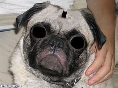 funy pugs pug pictures freaking news