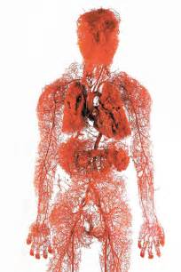 what color is blood in your veins model of the blood vessels in the human pics