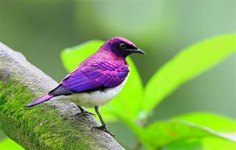 Bird Purple by 10 Beautiful Purple Colored Birds That You Didn T It