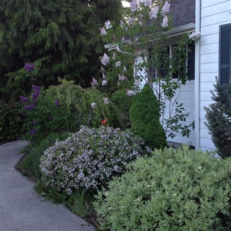 pretty in pink and purple on pinterest lilacs my pretty lilac bushes in front of the house i have 3